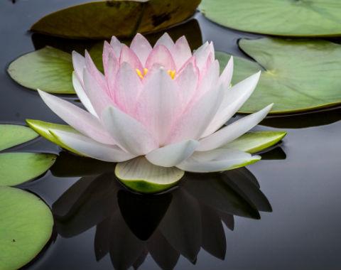 Lotusblüte_reiki_pfalz